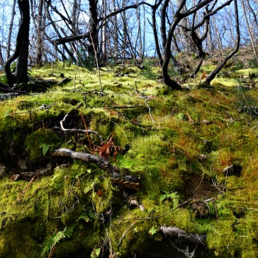 Funaria hygrometrica, the bonfire moss, proliferates in burn sites.